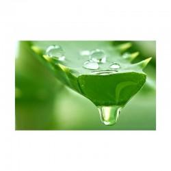 Κρητικά φύλλα αλόης (aloe...